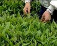 中国茶文化系列之茶叶种植生产【茶树的修剪与采摘】