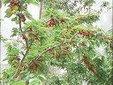 樱桃种植技术--佐田氏视频