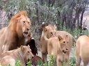 狮群大战野牛