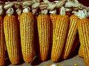 农民老大哥高产先锋版 玉米良种先玉335  先玉688