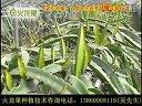 火龙果种植(栽培)的技术视频