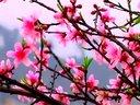 盆栽桃树花盛开视频