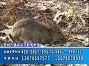 贵州万盛源致富经野兔养殖、中华金元三号土元养殖视频