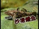 虾虎鱼塘鳢鱼沙塘鳢原生热带鱼观赏鱼繁殖技术洄水王老师视频