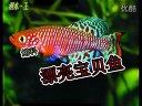 ?鱼卵生?鱼漂亮宝贝鱼观赏鱼热带鱼繁殖技术洄水王老师视频