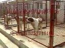 金德利肉狗养殖01视频