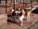 养肉狗肉狗养殖场肉食狗视频