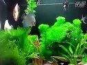 非常漂亮的草缸混养七彩燕鱼红绿灯视频