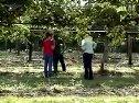 软枣猕猴桃种植视频