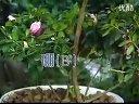 家庭如何种花和养花32-花卉养分管理视频
