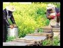 蜜蜂188金宝博官方直营网蜜蜂养殖前景1711107602