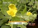 [天地2011-01-19HQ]大棚西瓜甘薯种植技指南22视频