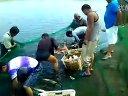 水库捕捞白鲢上万斤(三)视频