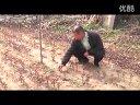甜茶苗北美海棠垂丝海棠(培育嫁接移栽管理视频)