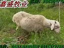 小尾寒羊188金宝博官方直营网养羊擂台