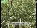 牧草种植新技术 (1556播放)