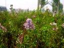 紫丁香---河北省定州市大型苗木花卉基地视频