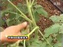 番茄种植技术教程02视频