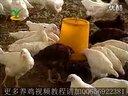 果园养鸡技术视频-散养鸡土鸡养殖技术视频