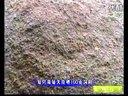 柴鸡养殖技术视频-散养柴鸡-养鸡技术08