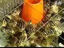 山鸡养殖技术视频-养鸡技术视频2-01