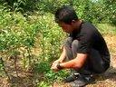 北方梨树优质高产栽培技术(一)视频