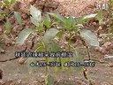 温室大棚辣椒种植技术(2)视频