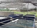 致富经典:泥鳅养殖泥鳅养殖技术泥鳅养殖技术视频