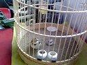 百灵鸟鸡下蛋打鸣视频