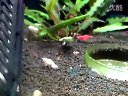 我的水晶虾缸视频