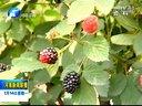 王书勤:发展树莓种植带领群众致富130114河南新闻联播视频