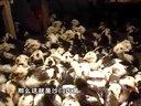 全国最大野生贵妃鸡养殖基地