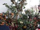 视频1-多种果树嫁接形成的一棵树