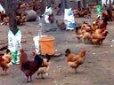 四川腾友禽业(土鸡苗、土鸡养殖技术、养鸡技术、青脚红羽土鸡、瑶鸡苗、黑鸡苗)