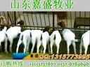 养牛技术肉牛初配技术视频