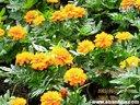 盆草花盆栽菊花视频共享