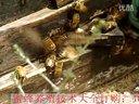 01_蜜蜂怎样养殖_蜜蜂养殖最新技术_蜜蜂养殖教学_
