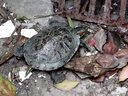 我家的小花与小傻(乌龟。巴西龟)视频