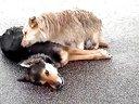狗狗雨中守护着死去同伴不离不弃感人一幕