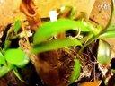 植物灯养殖的猪笼草,猪笼草扦插苗视频