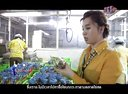 泰国企业-企业成功奥秘-泰国鹌鹑鸟养殖场视频
