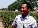 荆州申津渡农庄植物伟哥-黄秋葵专业种植基地报道视频