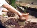 花卉栽培技术-君子兰视频