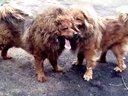 藏獒和狮子打架视频