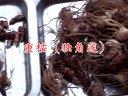 千山种苗重楼(独角莲)白芨金铁锁党参等视频