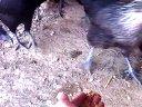 散养生态绿壳蛋鸡视频