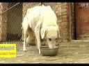 肉狗肉狗养殖技术山东肉狗养殖场视频