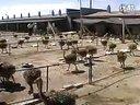 鸵鸟养殖技术-鸵鸟养殖-sdshtyz视频