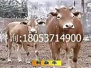 农村养牛利木赞牛养殖技术