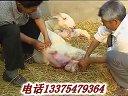 ��l:小尾寒羊肉羊�B殖�鲳B羊技�g��l